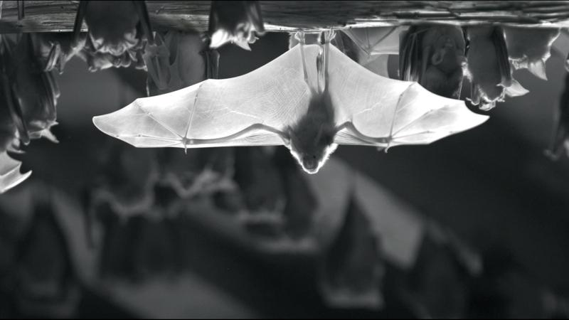Pipistrelles, sortie de gîte en ultra ralenti