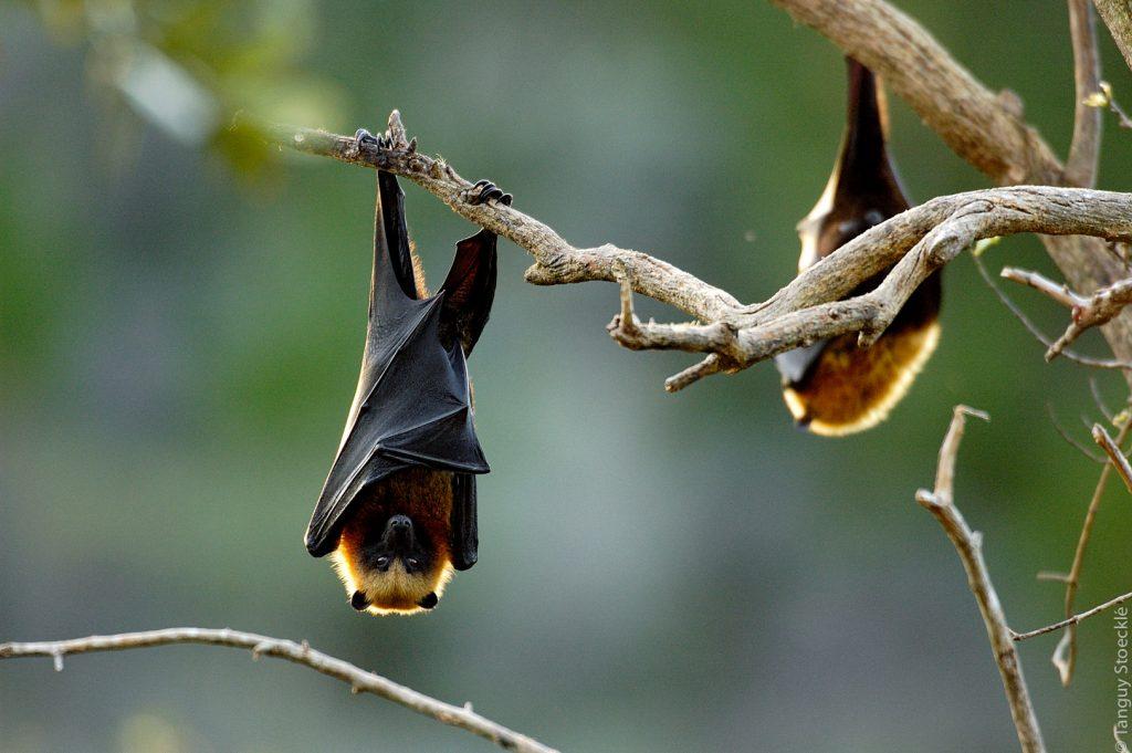 Pteropus rufus_Madagascar
