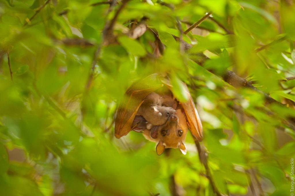 Bat cuddling_Kenya