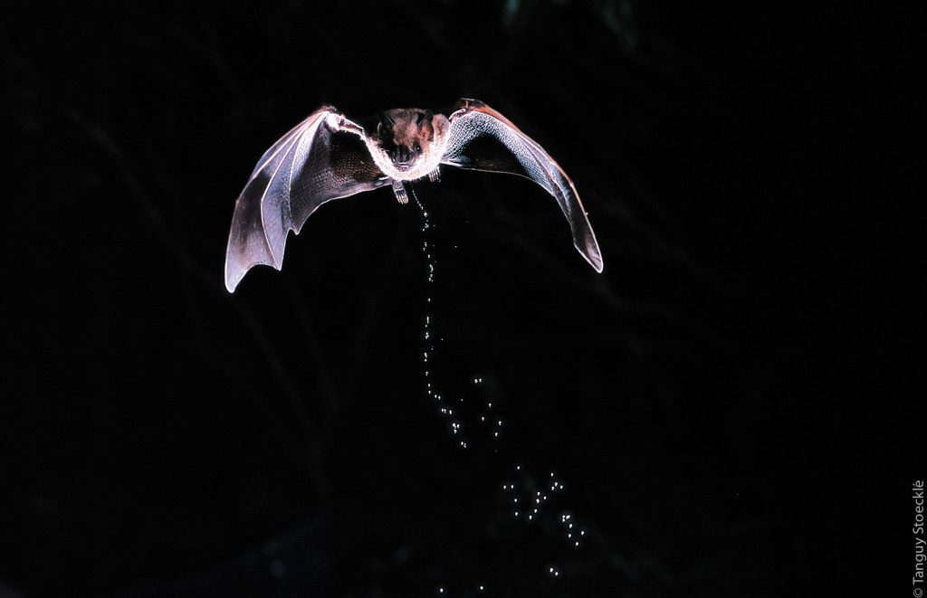 Artibeus jamaïcensis_France - Antilles