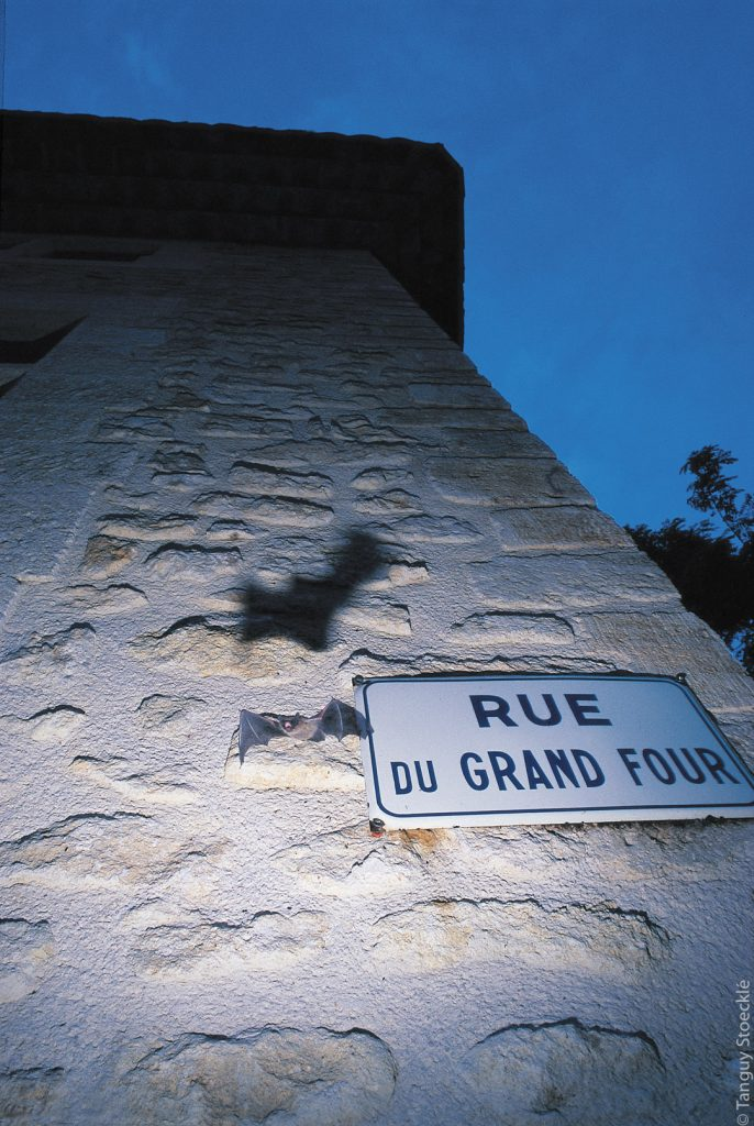 Pipistrelle de Kuhl_France