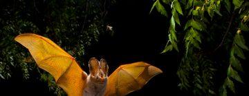 Noctilio – la chauve-souris pêcheuse – Guyane