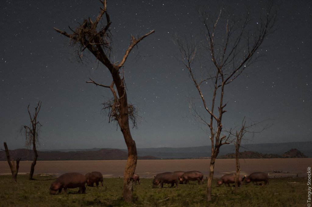 Hippos under the stars