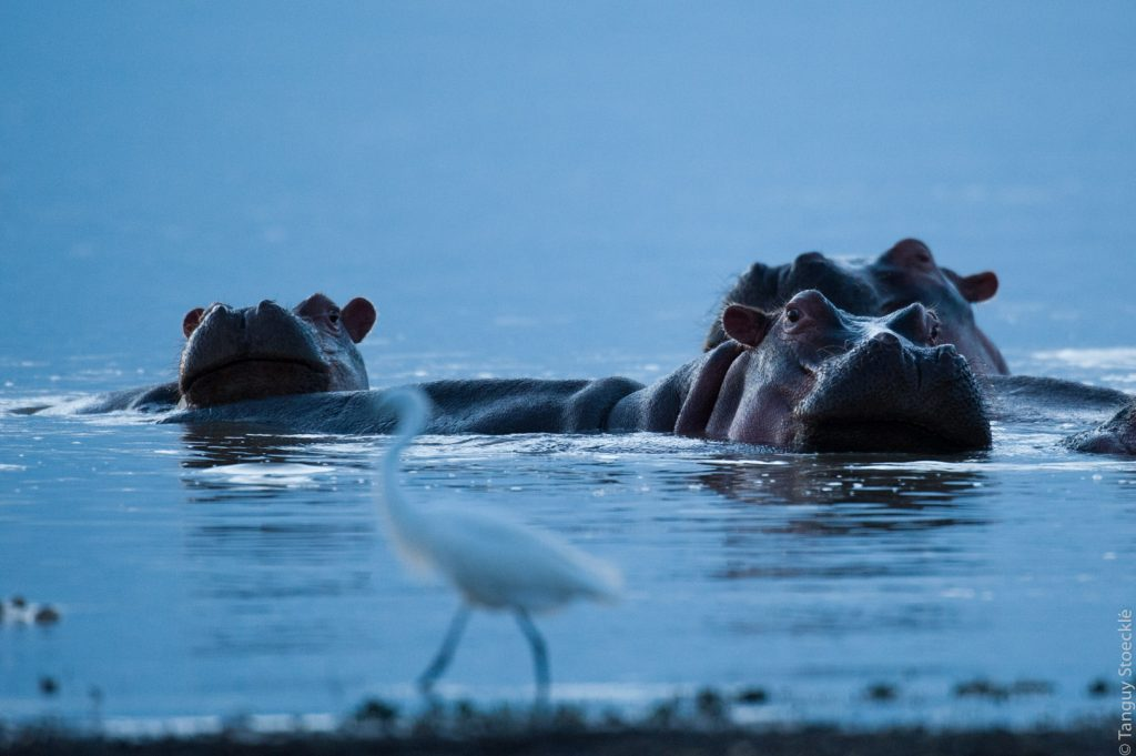 Hippos and this aigrette