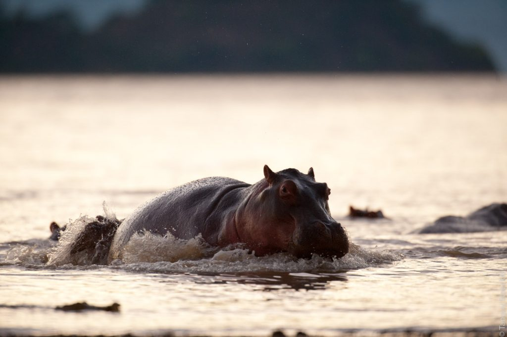 Jeu d'hippopotame