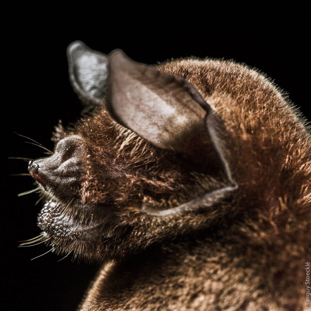 Pteronotus