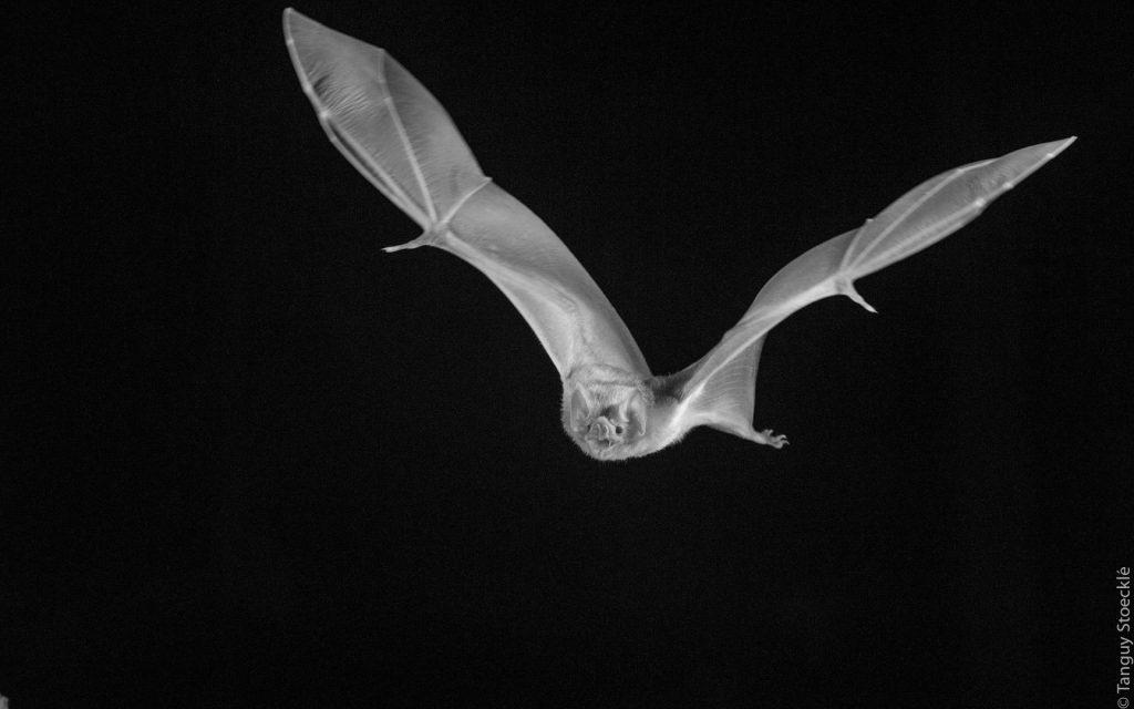 Vampire - Desmodus rotundus